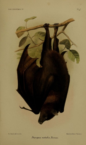 Christmas Island 2: Fruit Bat