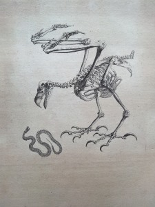 An illustration from Osteographia, depicting a skeletal bird attacking a skeletal snake