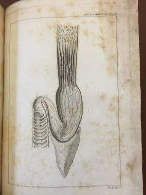 Sir Everard Home - An anatomical account of the squalus maximus  1809