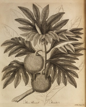 Ellis 4: bread-fruit plant