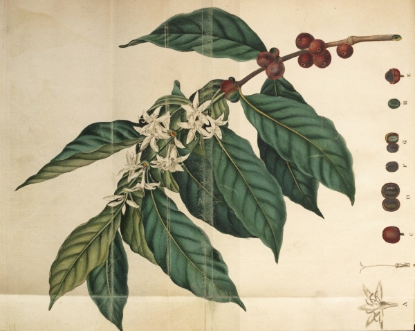 Ellis 3: coffee plant