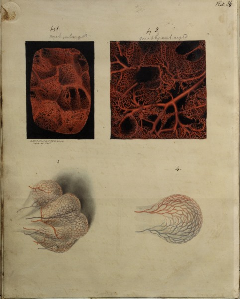 Illustrations of nerves from Henry Gray's Nerves of the human eye