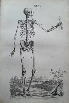 An illustration from Osteographia, depicting a human skeleton