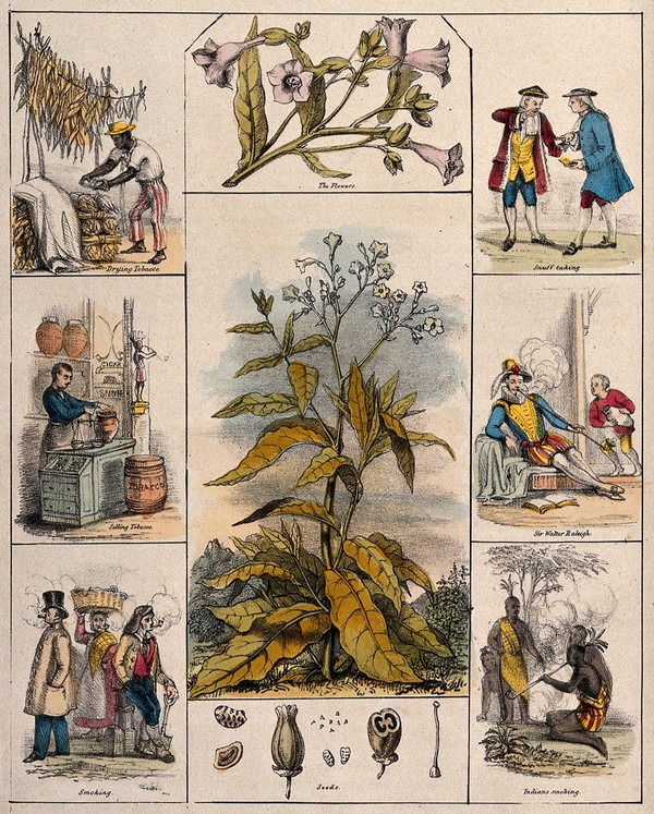 Tobacco 2: A tobacco plant (Nicotiana tabacum), its flowers and seeds, bordered by six scenes illustrating its use by man.