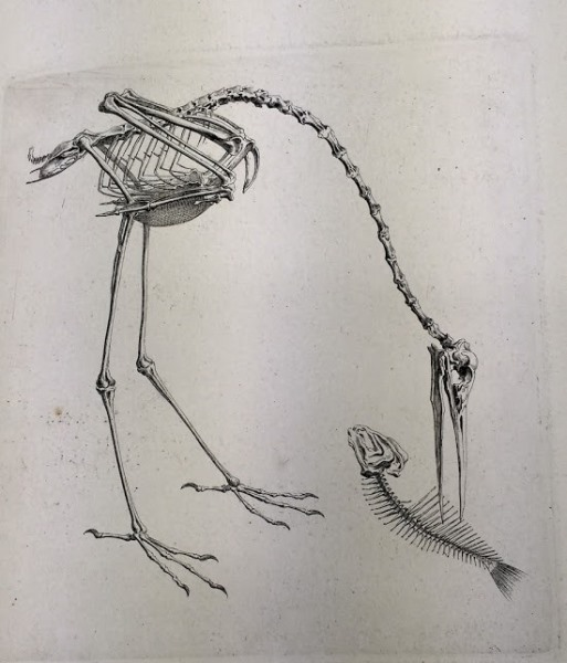 A stork skeleton in its 'natural environment', as depicted in illustrations from the Osteographia