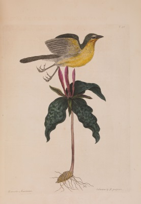 Catesby 3: bird