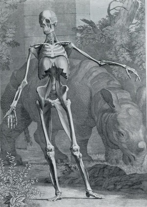 Albinus 1: Skeleton