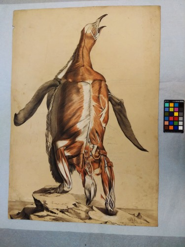 Fisk: flayed penguin