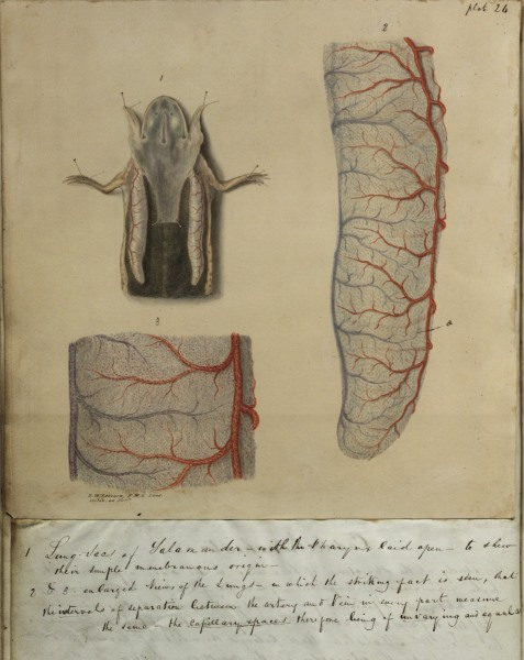 Illustrations from Dr Williams essay, featuring the lungs of a dissected frog
