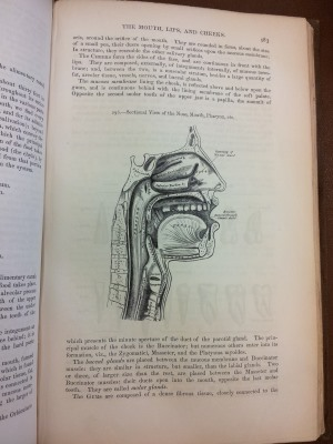 Gray's Anatomy - sectional view of the nose, mouth, pharynx
