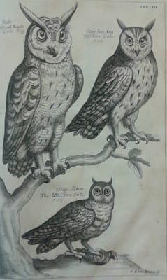 Ornithology owls
