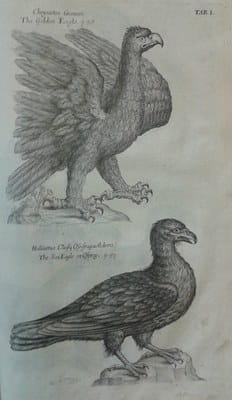 Ornithology eagles